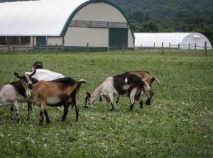 swiss villa goats