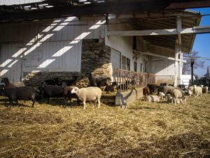 swiss villa sheep