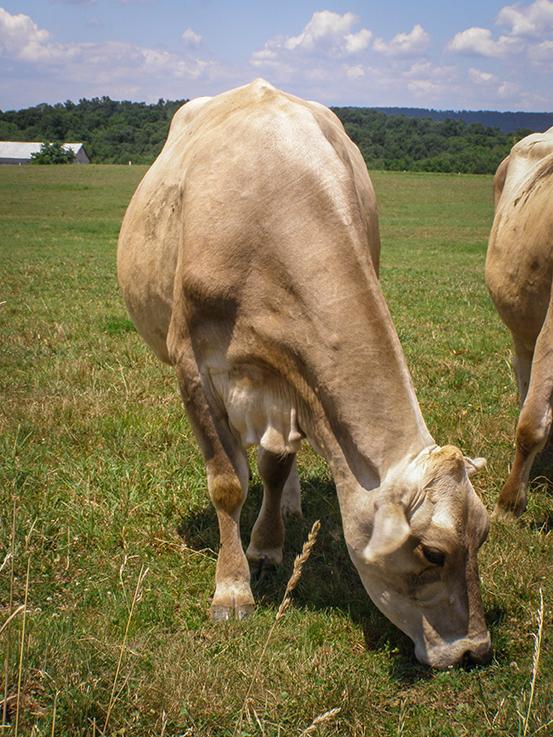 100 percent grass fed cow