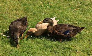 duck egg benefits campbell ducks